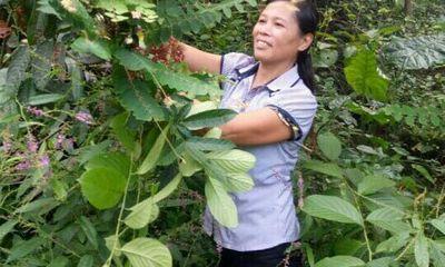 Y tế sức khỏe - 20 năm sống chung với đau nhức xương khớp, thoát khỏi nhờ bài thuốc nam hái trên rừng