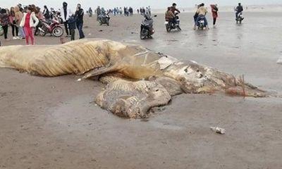 Xác cá voi dài 13m, nặng 10 tấn trôi dạt vào bờ biển Ninh Bình