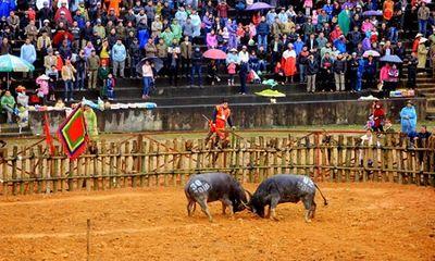 Đề nghị tạm ngừng tổ chức lễ hội chọi trâu Phù Ninh vì lo ngại virus corona