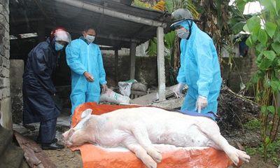 Phú Yên chính thức thông báo hết dịch tả lợn châu Phi