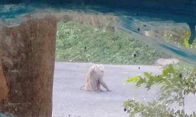 Khỉ đực nặng 10kg xổng chuồng, cắn người ở miền Tây