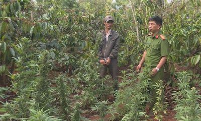 Tạm giữ chủ vườn trồng hơn 1.000 cây cần sa trên rẫy cà phê, giấu mìn tự chế trong nhà