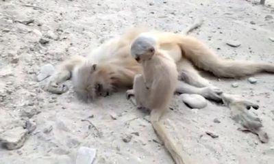 Video: Voọc con đáng thương cố lay đánh thức voọc mẹ đã chết vì điện giật