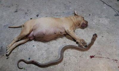 Video: Bảo vệ chủ nhà, chó pitbull mang thai chết vì rắn độc cắn