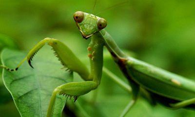 Video: Bị bọ cánh cứng phun hóa chất vào mặt, bọ ngựa phải buông miếng mồi ngon để giữ mạng
