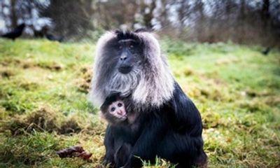 """Khỉ """"nữ hoàng"""" lạnh lùng giằng con non từ tay đồng loại để tập nuôi"""