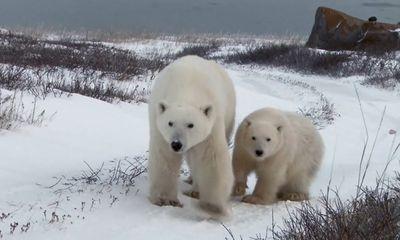 Video: Mẹ con gấu Bắc Cực hoảng sợ vì tách nhau