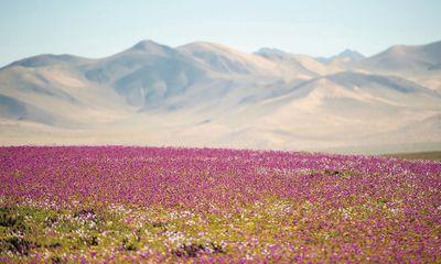 """Sa mạc khô cằn bất ngờ """"lột xác"""" thành biển hoa khổng lồ rực rỡ sắc màu"""
