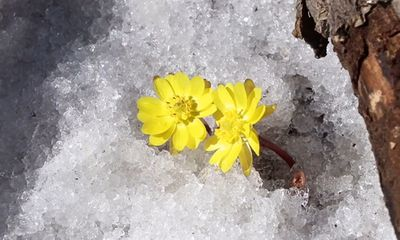 Video: Hoa cỏ phúc thọ bung nở trên nền tuyết trắng