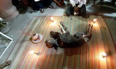 Bò mẹ đẻ ra bê 2 đầu, chủ mang vào chùa, dựng đèn nhang để nhiều người cúng bái