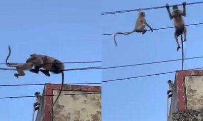 Video: Hồi hộp xem khỉ mẹ giải cứu khỉ con mắc kẹt trên dây điện