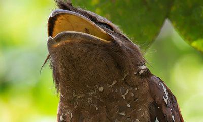 Video: Loài chim kỳ lạ sở hữu mỏ như mồm ếch