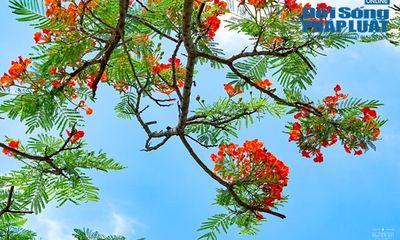 Ngắm hoa phượng đẹp đến nao lòng, đỏ rực khắp đường phố Hà Nội