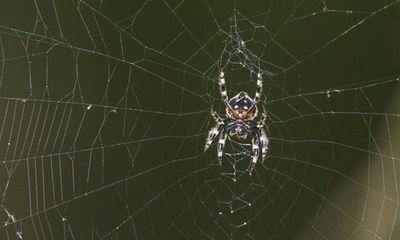 Video: Siêu nhện phóng tơ dài... 25m như chiếc cầu bắc qua sông