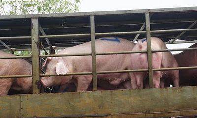 Nhập lợn sống từ Thái Lan về để nuôi, giết mổ lấy thịt từ ngày 12/6