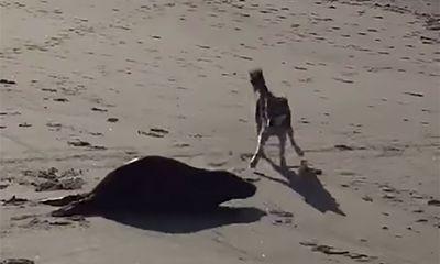Video: Hải cẩu chạy thục mạng khi gặp chó pooch