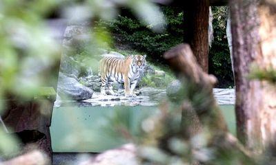 Vừa mở cửa kinh doanh lại, nữ nhân viên sở thú đã bị hổ Siberia tấn công tử vong