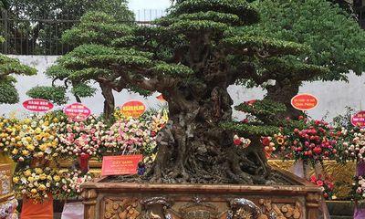 Chiêm ngưỡng cây sanh cổ