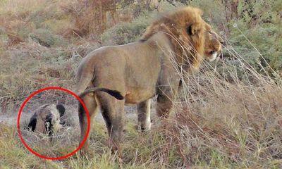 Video: Chó hoang tinh ranh giả chết, đánh lừa cả đàn sư tử