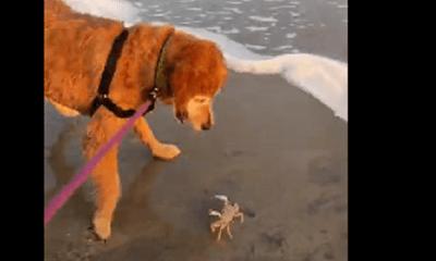 """Video: Chó và cua đại chiến """"không hồi kết"""" trên bờ biển"""