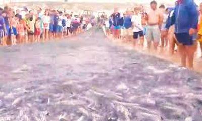 Video: Đàn cá đối, cá trích 'khổng lồ' dạt vào gần bờ, dân nhanh chóng dùng lưới vây bắt