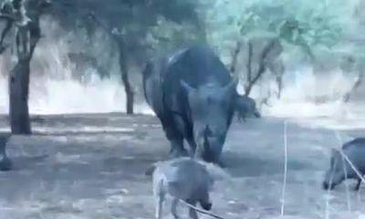 Video: Tê giác giận dữ húc tung lợn rừng lên trời vì tội tham ăn