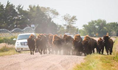 Mỹ: Cư dân tiểu bang Nebraska khốn đốn vì 125 con bò rừng Bison xổng chuồng