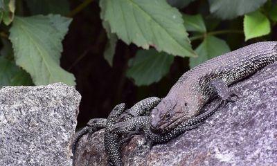 Video: Thằn lằn mẹ tấn công rắn độc dài 2 mét khi thấy đối thủ tới gần con non