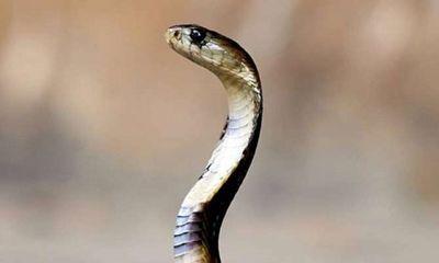 Cậu bé bị cùng một con rắn cắn 8 lần trong một tháng