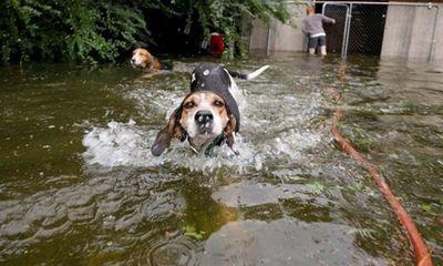 Video: Nước lũ dâng cao, chú chó vẫn gắng sức bơi đi tìm chủ