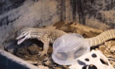 Video: Bị nhốt chung với bọ cạp rừng, kỳ đà hung dữ