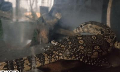 Video: Bị thả vào chuồng kỳ đà hoa, rắn rầm ri hứng chịu màn