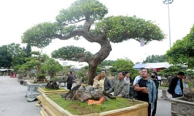 Ngất ngây với cây khế cổ dáng Long đẹp nhất Việt Nam, đại gia trả 4 tỷ vẫn không mua được
