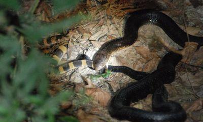 Video: Đụng độ rắn cạp nia, rắn hổ bướm bị kẻ săn mồi vật ngửa, nuốt gọn vào bụng