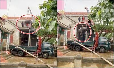 Video: Hai chú trâu trên mái nhà được tiếp đất sau khi lũ rút, dân mạng tò mò cách