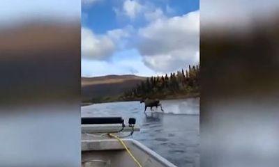 Video: Nai Alaska có màn chạy trên nước