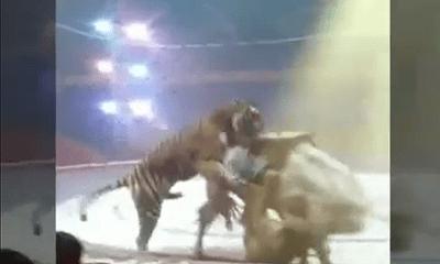 Video: Hổ ăn thịt