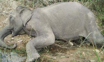 Con voi cuối cùng ở Bắc Tây Nguyên chết sau nhiều ngày chán ăn