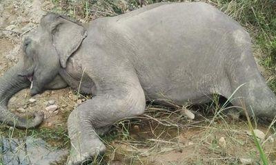 Con voi nhà duy nhất ở Bắc Tây Nguyên chết: Từng được nhiều người hỏi mua