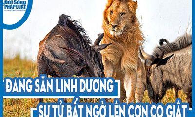 Video: Đang săn linh dương, sư tử bất ngờ co giật, giãy đành đạch sau vài giây