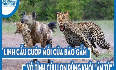 Video: Linh cẩu cướp mồi của báo gấm, vô tình cứu lợn rừng khỏi