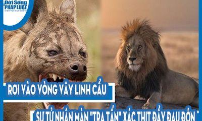 Video: Rơi vào vòng vây linh cẩu, sư tử nhận màn