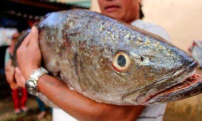Bắt được cá lạ nặng 18 kg, dài 1 mét nghi sủ vàng quý hiếm
