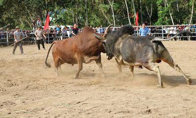 Khám phá lễ hội chọi trâu, bò của đồng bào Mông ở miền Tây xứ Nghệ