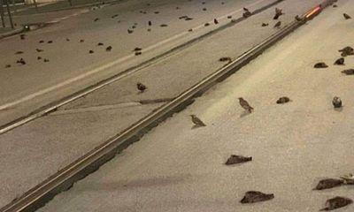 Hàng trăm con chim bỗng nhiên chết la liệt trên đường phố tại Ý, biết nguyên nhân ai cũng