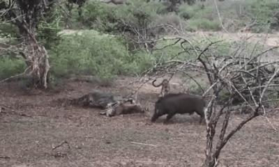Video: Báo đốm