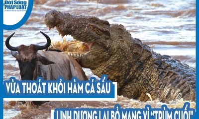 """Video: Vừa thoát khỏi hàm cá sấu, linh dương lại bỏ mạng vì """"trùm cuối"""