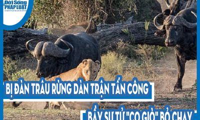 Video: Bị đàn trâu rừng dàn trận tấn công, bầy sư tử