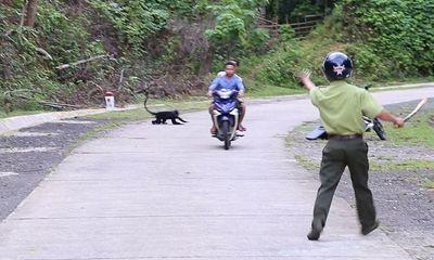 Quảng Trị: Chi 118 triệu đồng để bắn thuốc mê đàn voọc từng tấn công 18 người dân