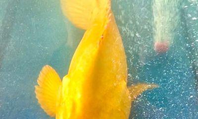Chủ gara sửa chữa ô tô mua được cá mú đặc biệt, màu vàng óng: Có người trả giá 200 triệu đồng